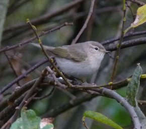 eastern Chiffchaff Clennon Valley 27 Nov 2013 ML