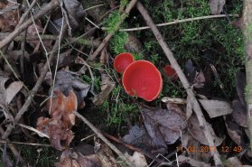 Also of interest - this Peziza coccinea growing on fallen ash branches.