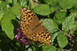 Silver washed fritillary, female
