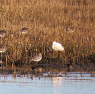 Spoonbill colrings yelland Laurie Daunt 12.1.2014