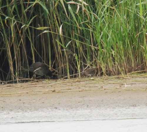 Spotted Crake (Right)