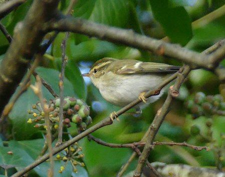 Yellow-browed WarblerBroadsands 7 Dec 2015 ML