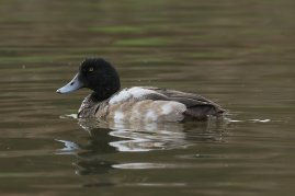 Scaup. 1st winter drake