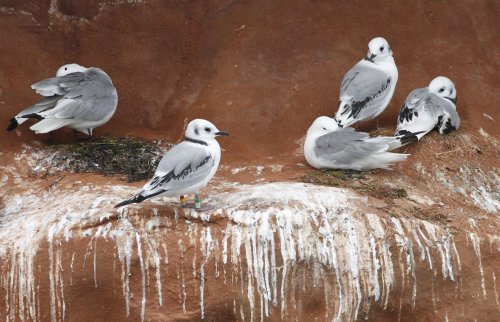 Colour-ringed Kittiwake Straight Point, Exmouth 4th August