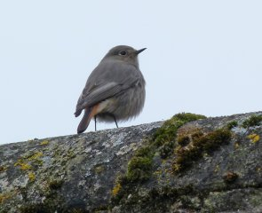 Black Redstart Female Clennon Valley 1 Jan -1 March 2013 ML2