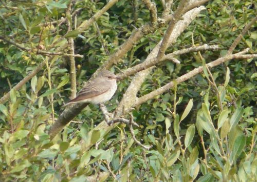 spotted flycatcher - scarce on Orcombe