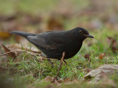 Dark Beaked 1st winter Scandinavian Blackbird - Turdus merula