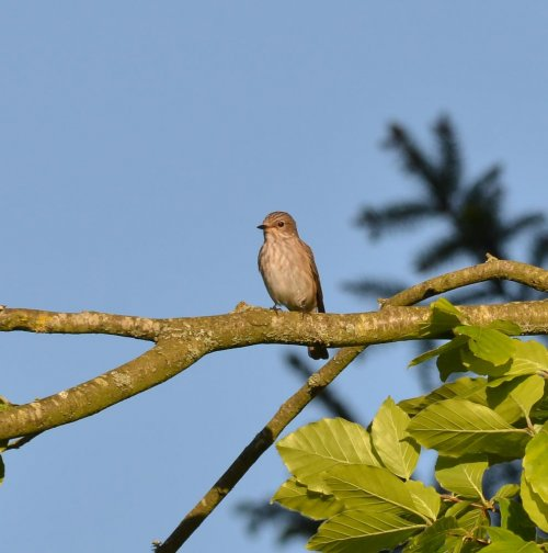 Spotted Flycatcher _ South Milton - 18.5.2016