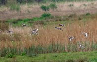Black-tailed Godwits and Bar-tailed godwits