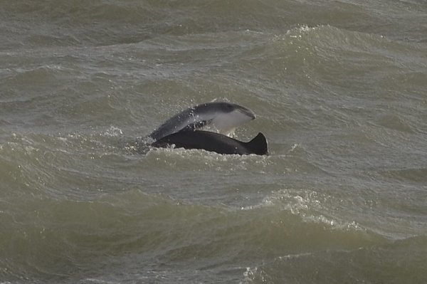 Harbour Porpoise - adult & calf