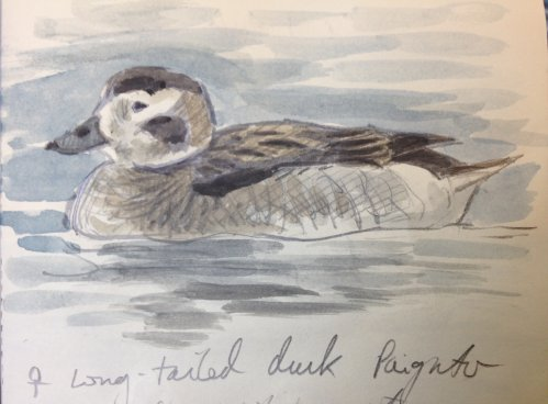 long-tailed Duck Paignton Dec 2020 ML
