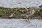 Curlew and Curlew Sandpiper © Bob Telford, 16/10/2017, Bowling Green Marsh