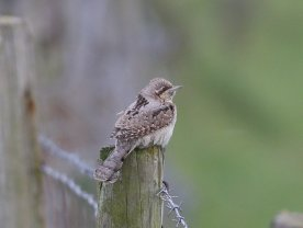 Lovely Wryneck