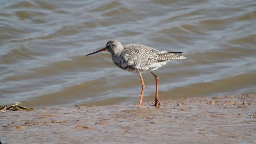 Spotted Redshank  6-4-2015