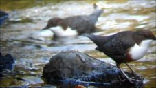 Dippers Pair