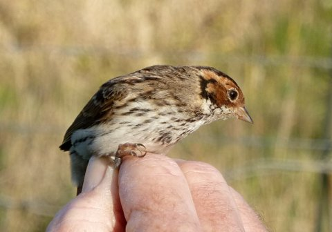 Articles Little Bunting Devon Birds