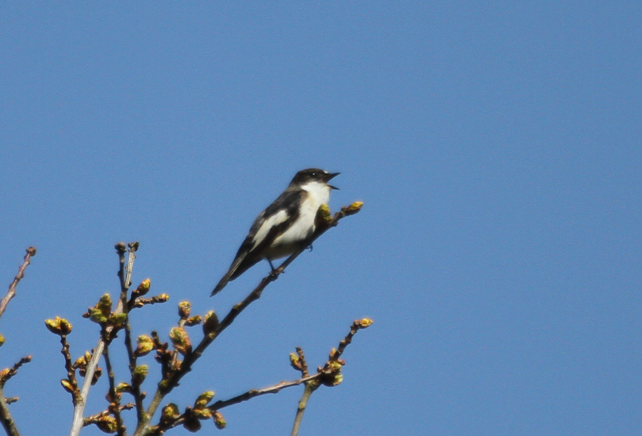1 Singing Pied Flycatcher Male 2 Raven 3 Blackcaps Several Willow Warblers And Chiffchaff Cuckoo Green Wood Both Heard