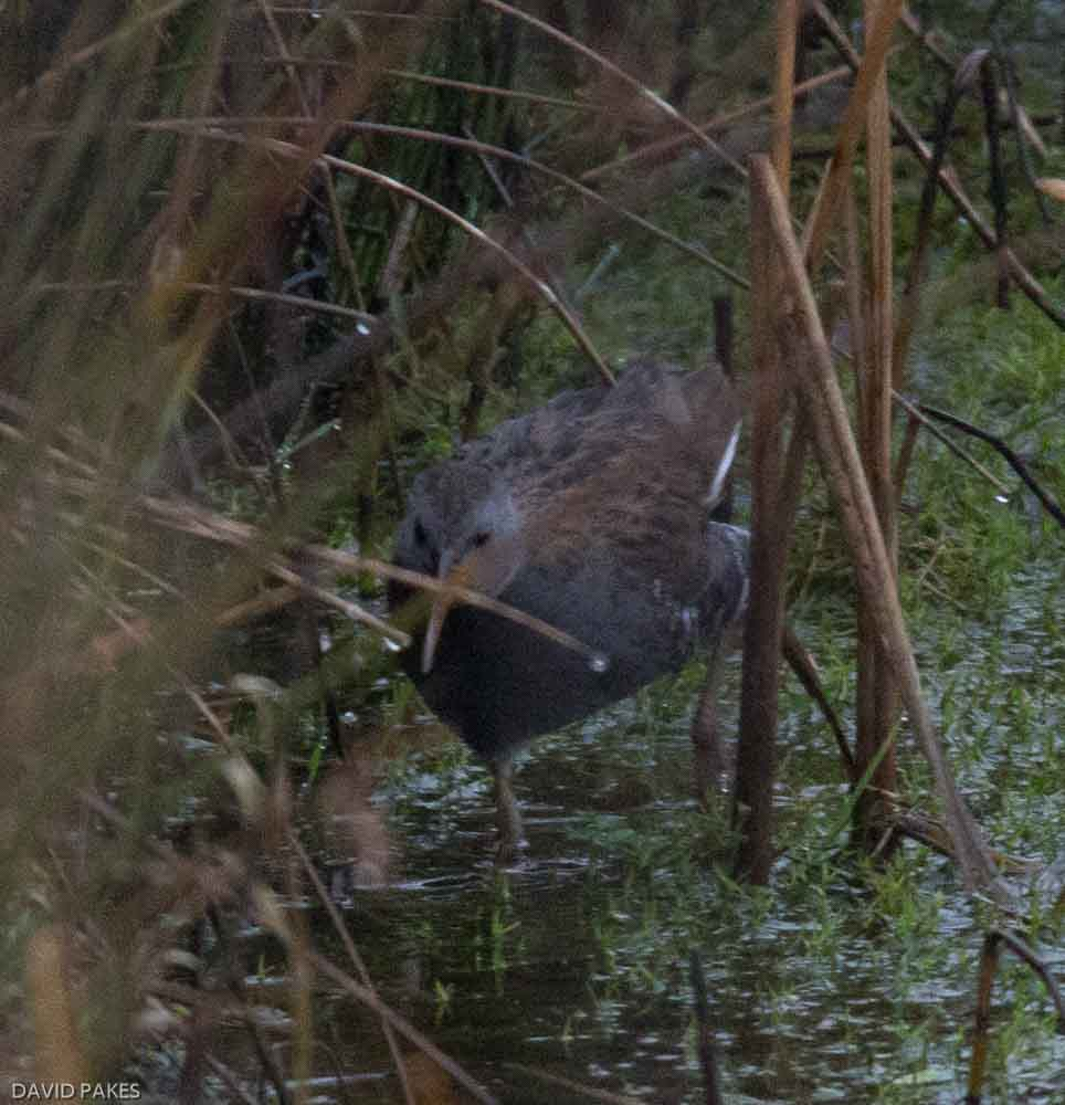 Water Rail - Lower Tamar Lake - 22.2.17