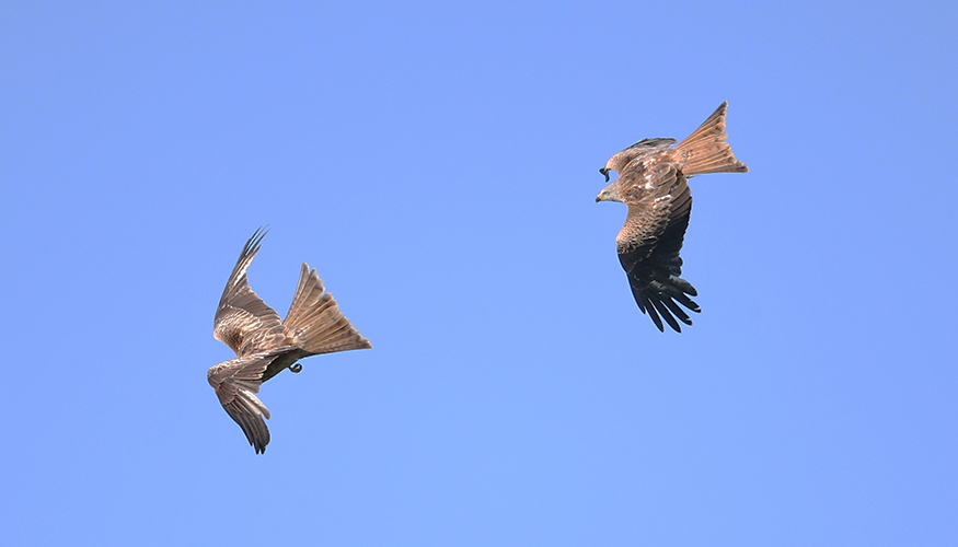 More Red Kites Over South Brent Scarce Rare Birds Passage